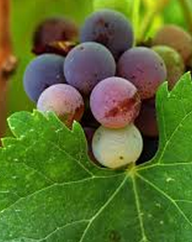 ethically sourced grapes